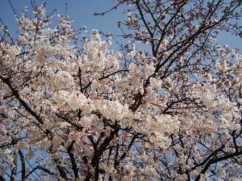 桜2 (2).JPG